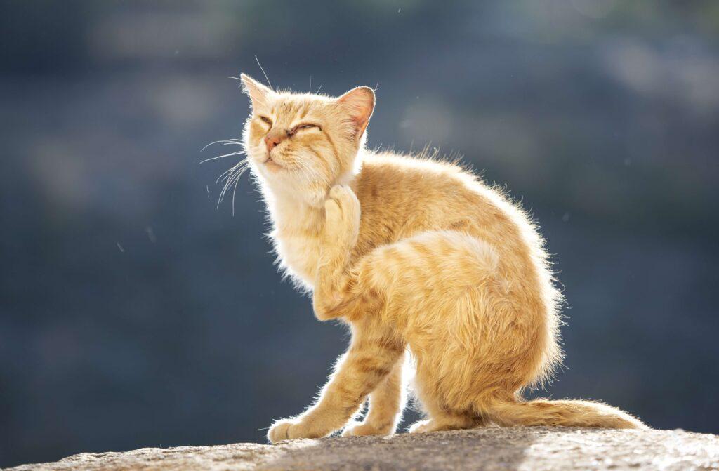 Gato com pelo alaranjado se coça sua cabeça em meio a uma calçada acinzentada.