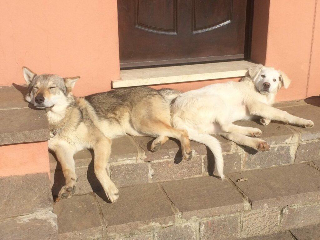 Dois cães se espreguiçam em escadas em frente a uma porta. O cão da esquerda é marrom escuro. enquanto o cão da direita tem pelagem mais clara. A parede atrás deles tem tons salmão.